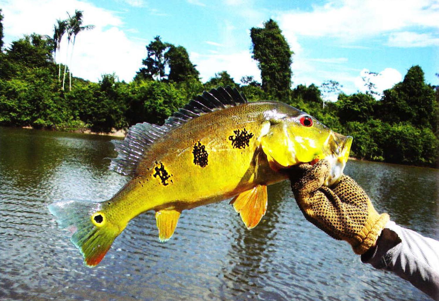 рыбалка павлиний окунь